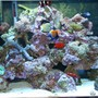 65 gallons reef tank (mostly live coral and fish) - my reef