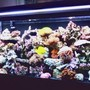 55 gallons reef tank (mostly live coral and fish) - 55 Gallon Reef