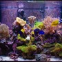 140 gallons reef tank (mostly live coral and fish) - Main Display Tank- Present day