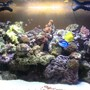 90 gallons reef tank (mostly live coral and fish) - 90g truvu acrylic tank with 30g show refugium housing seahorse and several variety of pods. 2x 150 15k and 20k mh. Live rocks/sand/argonite..sps, lps, polyps, soft corals, mushroom, and anemone.