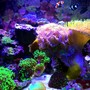 29 gallons reef tank (mostly live coral and fish) - 2 years Running: 29 gallon biocube. 2 Oce clowns (orange & black), 1 coral beauty angel, Branching Duncan Coral, 2 T-maxima clams (black & blue), 3 green tip frogspawn, green striped mushrooms, yellow sun coral, leather toadstool, favia, small zoa colony, green elegance coral. LED lighting.