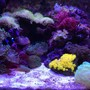 29 gallons reef tank (mostly live coral and fish) - Corals: (GreenTipFrogspawn-x3), (GreenStarPolyps), (Mushrooms:Green,Blue,Orange), (SunCoral), (DuncanCoral-x2), (PulsingXenia), (NeonGreenBubbleCoral), (Zoanthids-BlueBerryFields), (WarPaintFavia) Inverts: (RedEncrustedTubeWorms) Macro: (OrangeSpec.DragonsBreath)