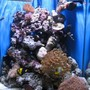 60 gallons reef tank (mostly live coral and fish) - My very first Salt water Reef tank. about 4 months old now 15/08/06