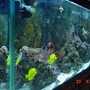 125 gallons reef tank (mostly live coral and fish) - STILL NOT A REAL GOOD PIC OF THE TANK CANT SEE ALL THE CORALS BUT THE ONLY WAY TO GET A UP COLSE PIC AND STILL SEE THE WHOLE TANK 125GAL. getting a 90 gal going as of 9/27/06