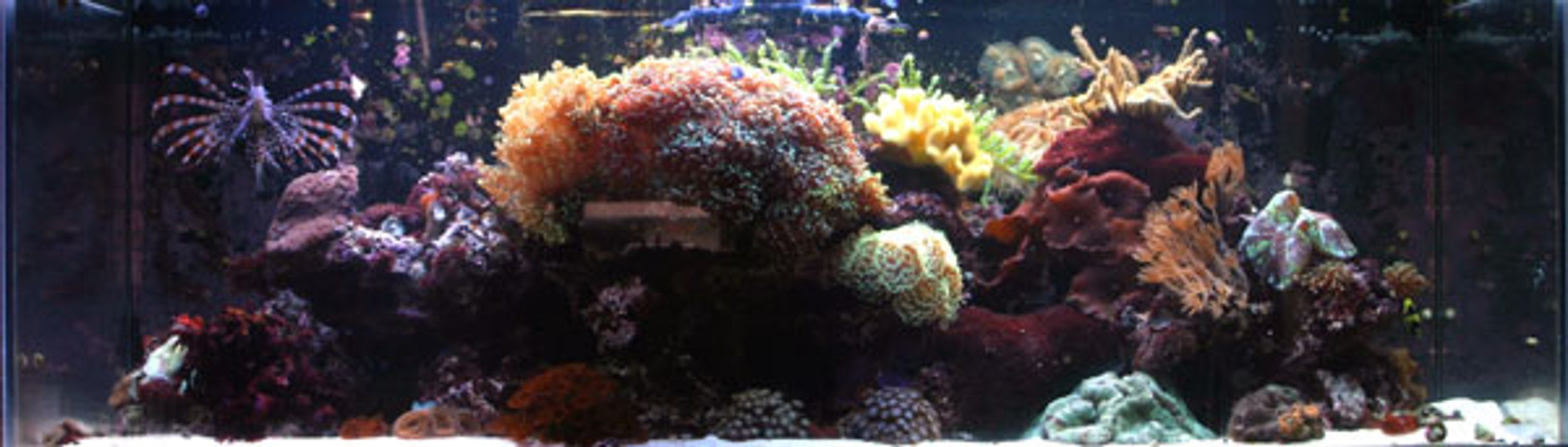 corals inverts - sarcophyton elegans - yellow fiji leather coral - Large mushroom soft corals
