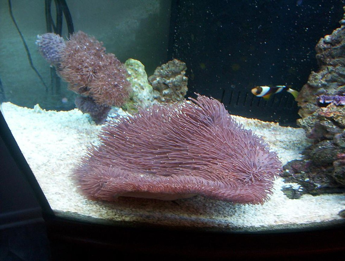corals inverts - sarcophyton sp. - long polyp leather stocking in 72 gallons tank - the leather