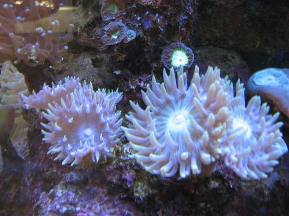 corals inverts - duncanopsammia axifuga - giant green polyp duncan stocking in 225 gallons tank - Duncan mania