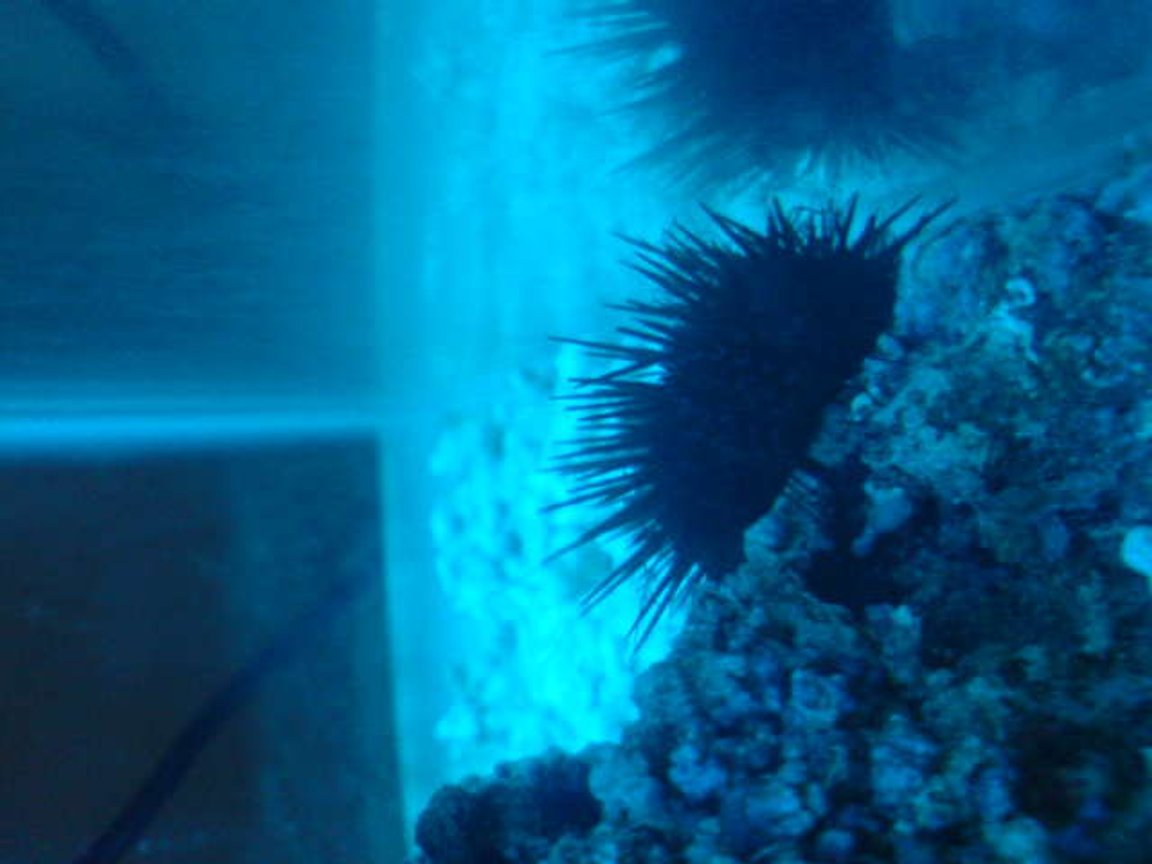 corals inverts - diadema setosum - longspine urchin, black stocking in 15 gallons tank - ---