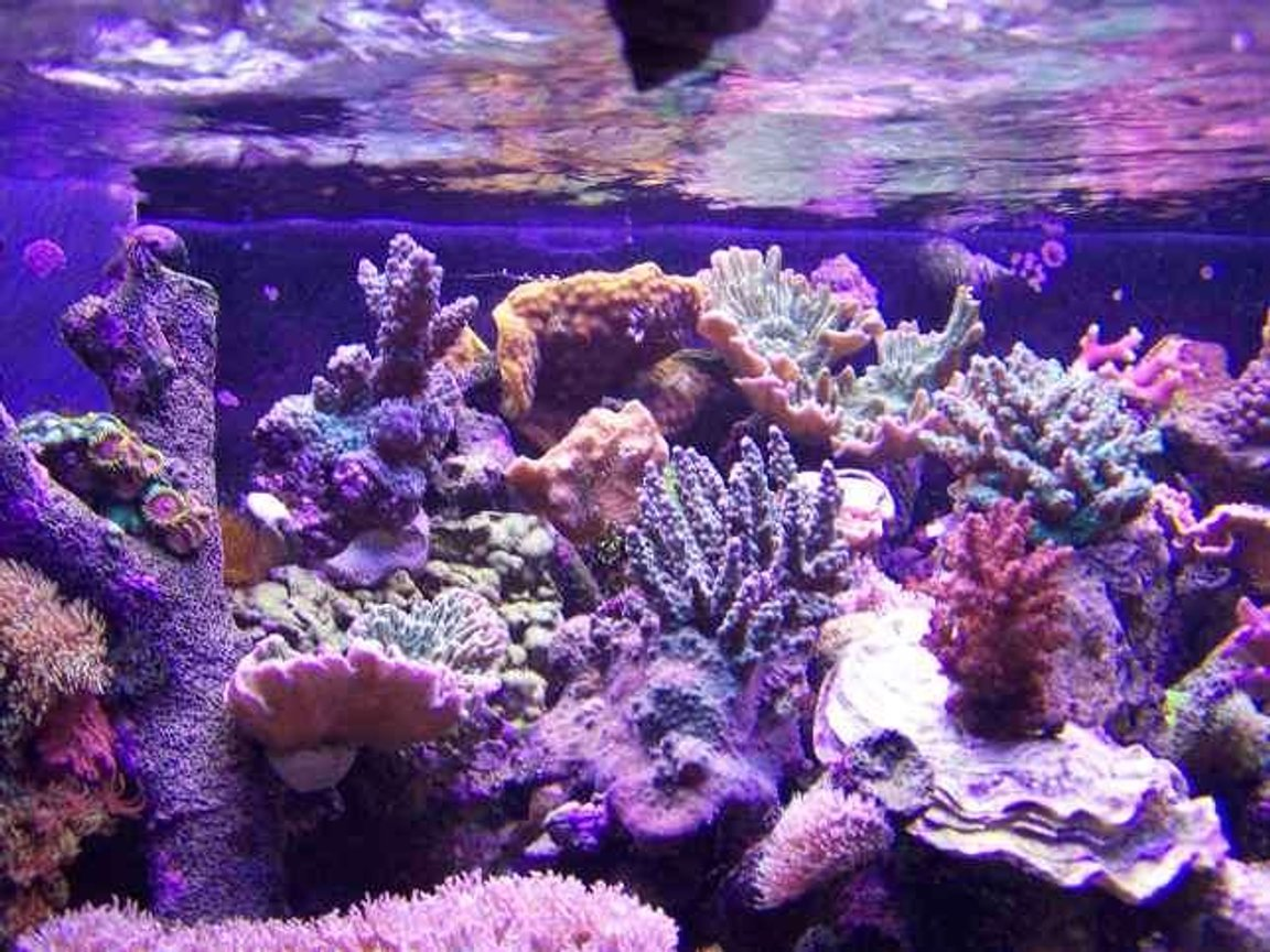 corals inverts - acropora sp. - acropora coral stocking in 125 gallons tank - sps