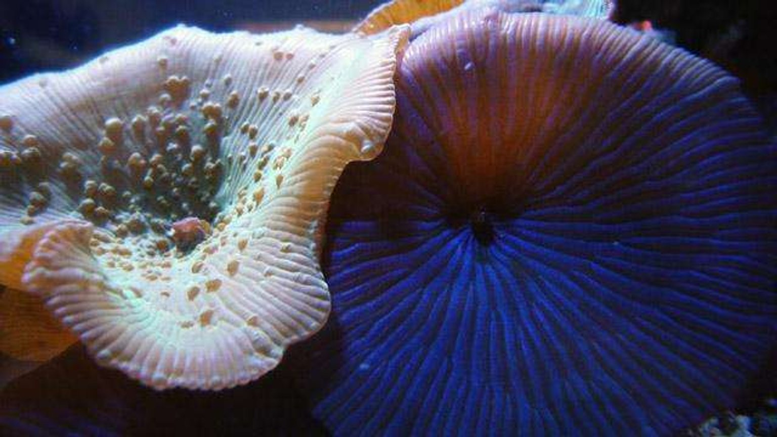 corals inverts - actinodiscus sp. - green striped mushroom stocking in 150 gallons tank - close up pic of mushroom