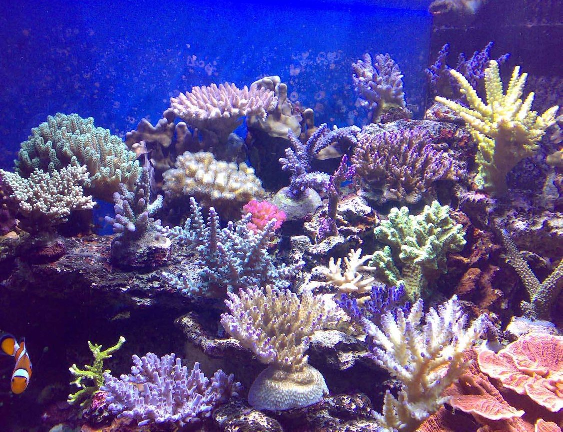 corals inverts stocking in 100 gallons tank - my corals