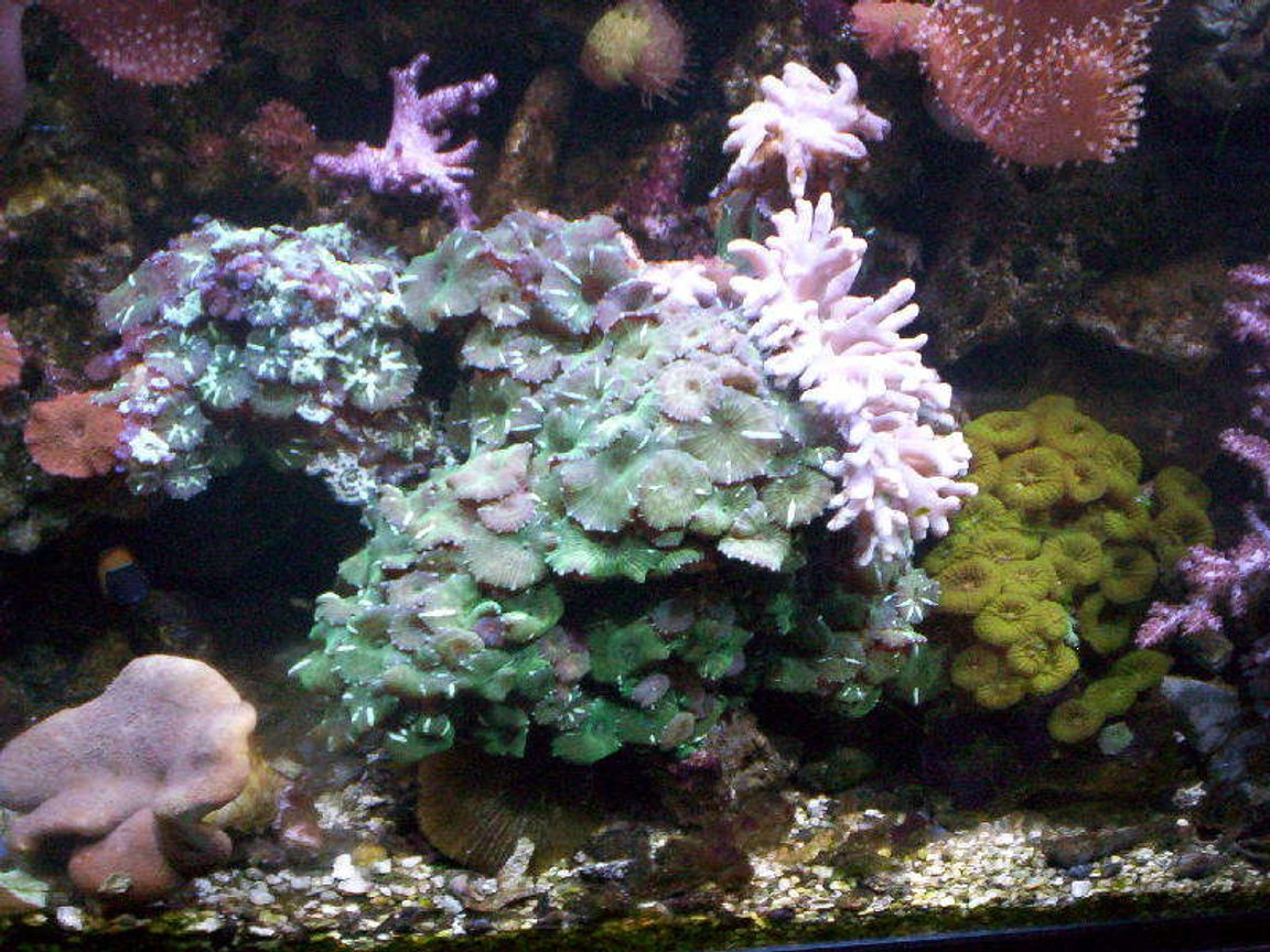 corals inverts - zoanthus sp. - green polyps stocking in 95 gallons tank - Rude's tank