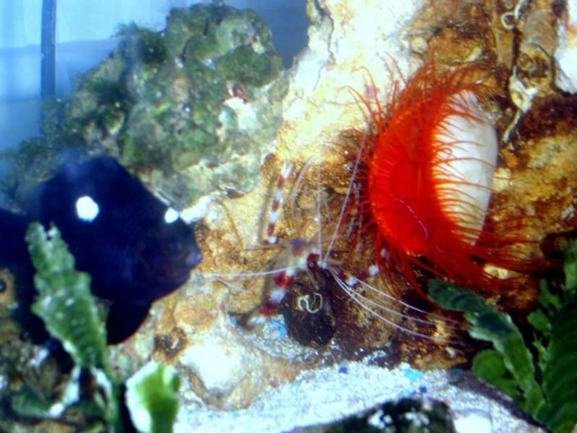 corals inverts - lima sp. - electric flame scallop stocking in 52 gallons tank - domino damsel, coral banded shrimp and a electric red flame scallop