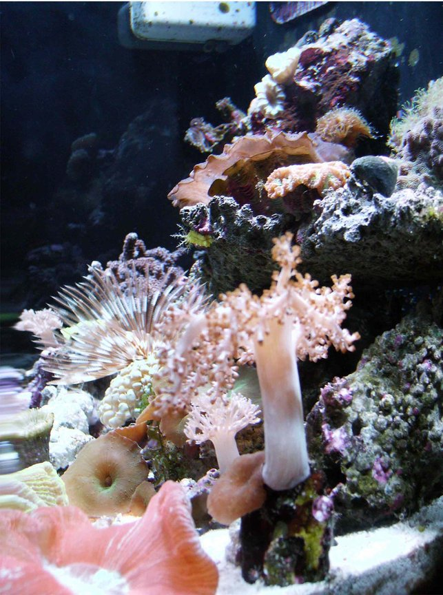 corals inverts - sabellastarte sp. - feather duster stocking in 24 gallons tank - 24 gal side view FRAGS 4 LIFE