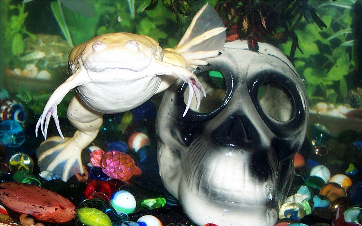 corals inverts - xenopus laevis - albino clawed frog stocking in 72 gallons tank - Albino Clawed Frog