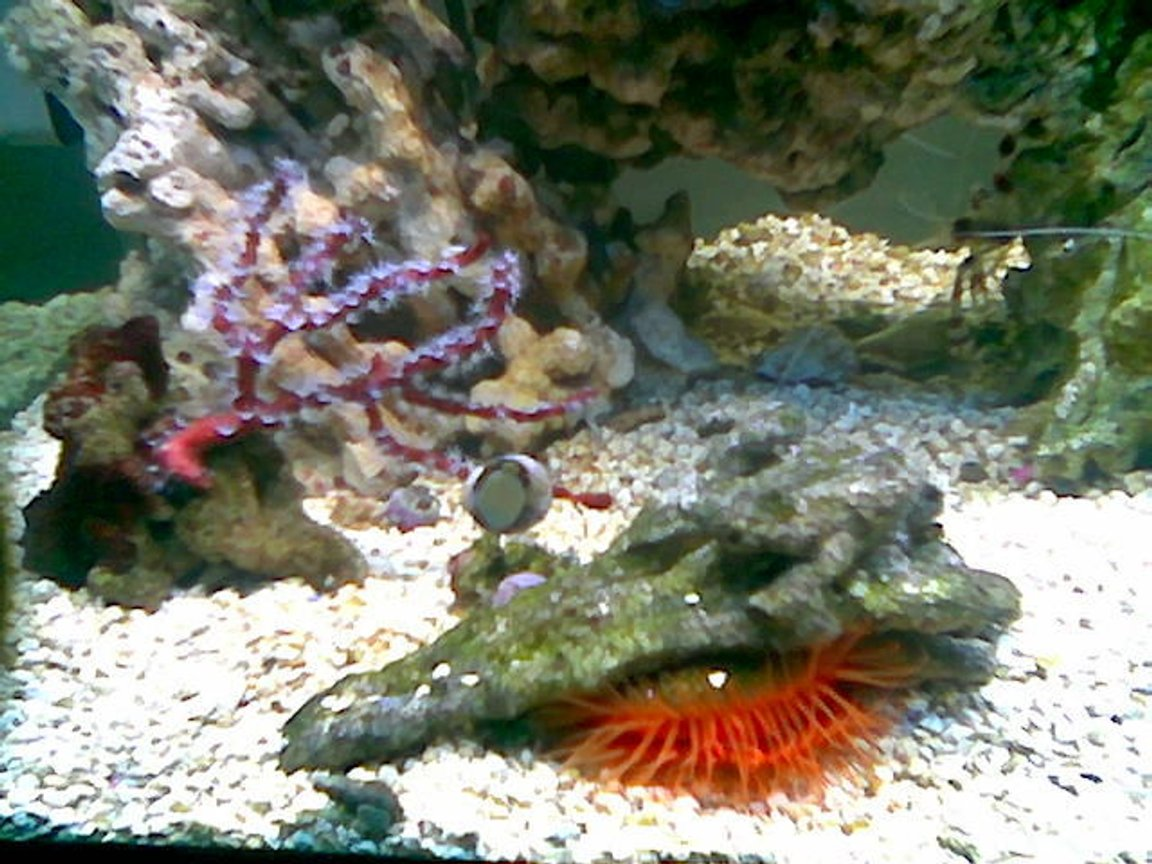 corals inverts - lima scabra - flame scallop stocking in 75 gallons tank - red deepwater gorgonian / flaming scalop