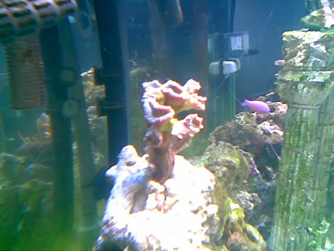 corals inverts - caulastrea furcata - candy cane coral stocking in 75 gallons tank - candy coral