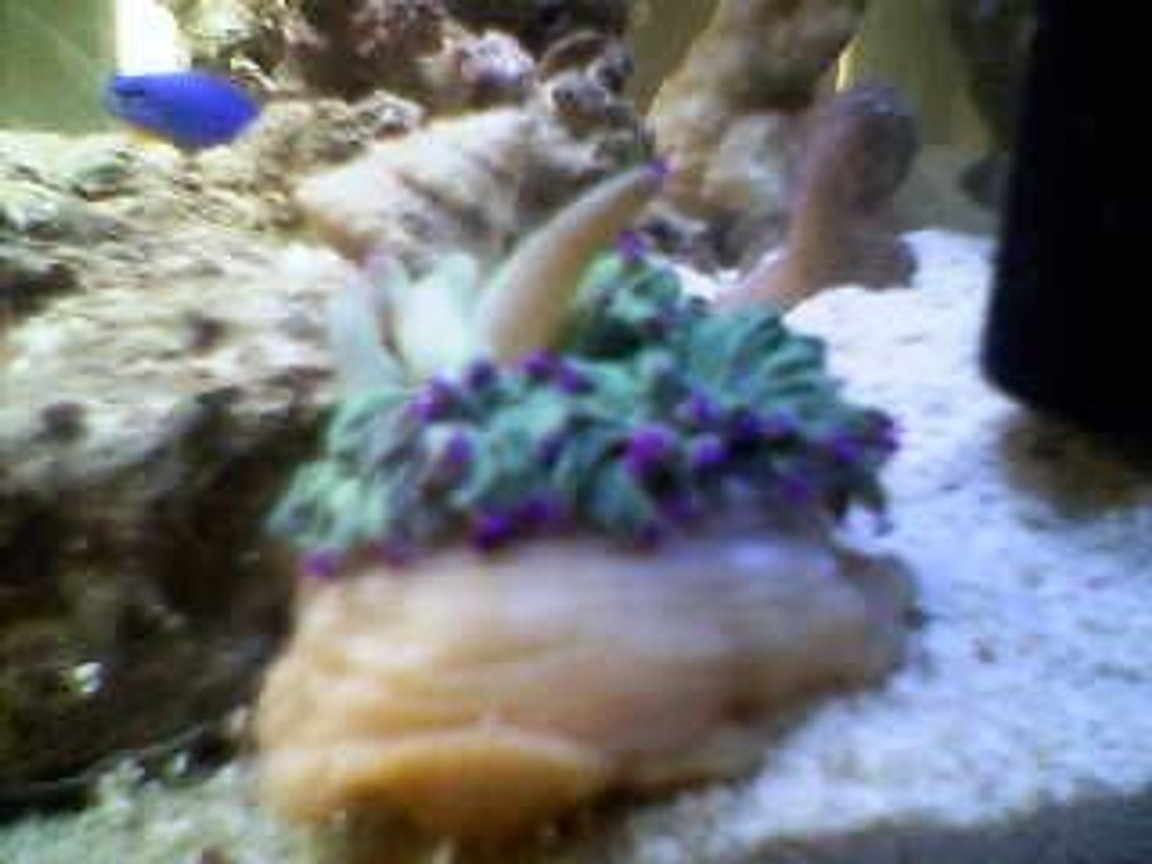 corals inverts stocking in 10 gallons tank - angelica (little)