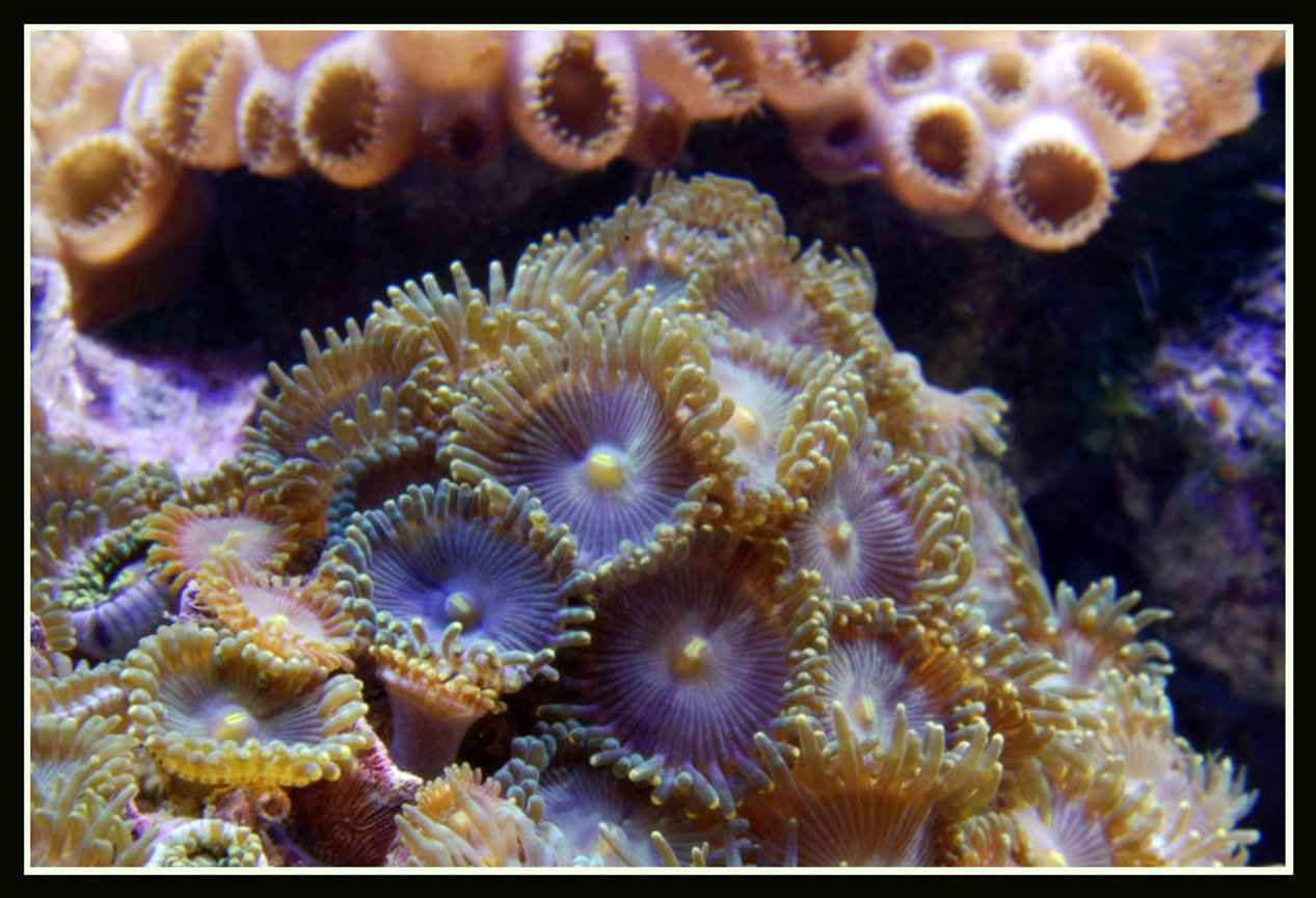 corals inverts - palythoa sp. - blue devil zoanthids stocking in 125 gallons tank - Zoas in my reef tank close