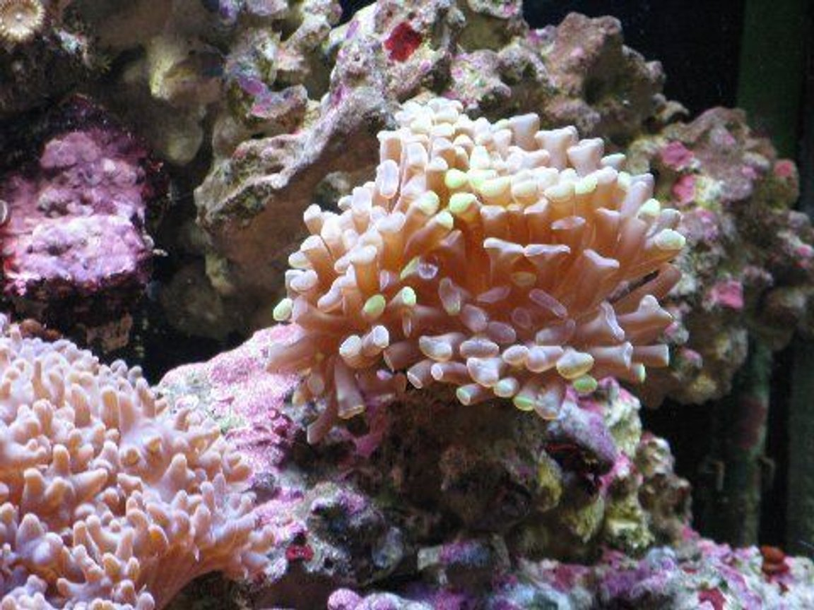 corals inverts - euphyllia paranchora - hammer / anchor coral, branching stocking in 45 gallons tank - hammer