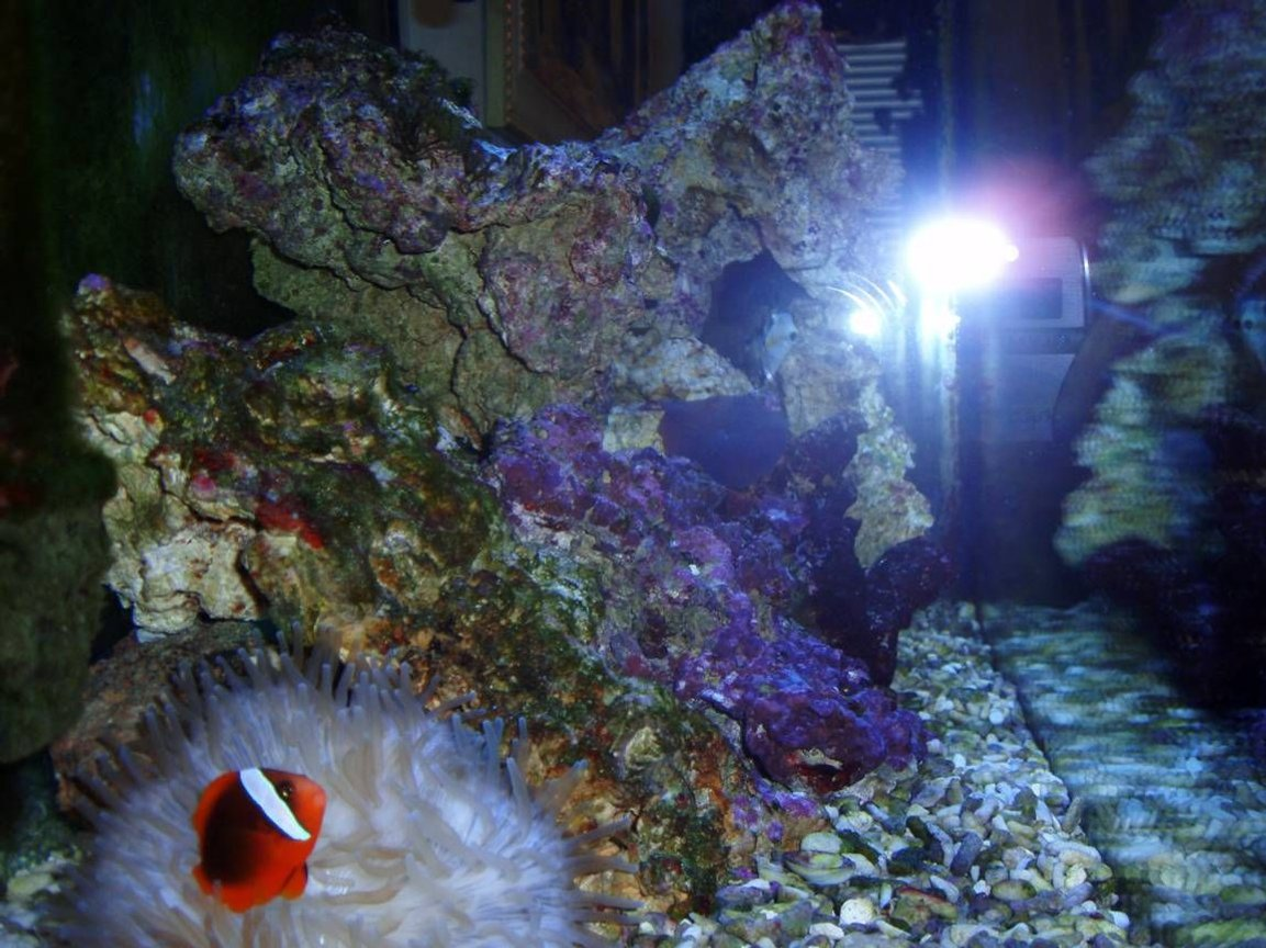 corals inverts stocking in 39 gallons tank - Clown N Annemine
