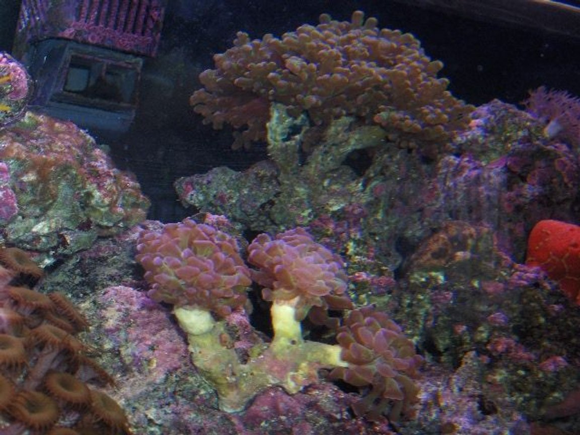 corals inverts - euphyllia paradivisa - frogspawn coral stocking in 125 gallons tank - corals