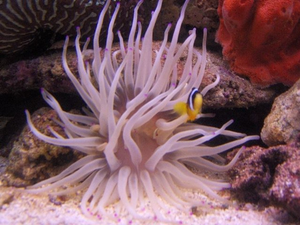 corals inverts - condylactis gigantea - condy anemone stocking in 125 gallons tank - pink tip