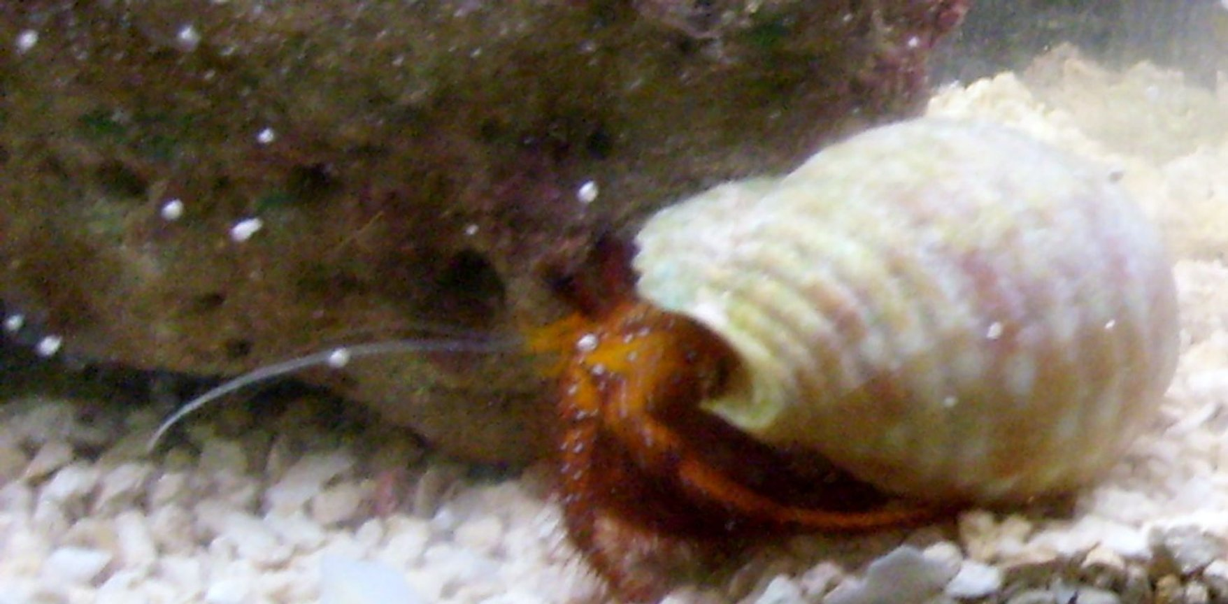 corals inverts - clibanarius sp. - dwarf red tip hermit crab stocking in 55 gallons tank - the crab when i bought him