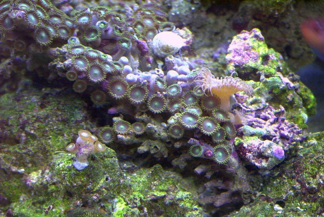corals inverts - zoanthus sp. - button polyp, pink stocking in 14 gallons tank - Zoo's