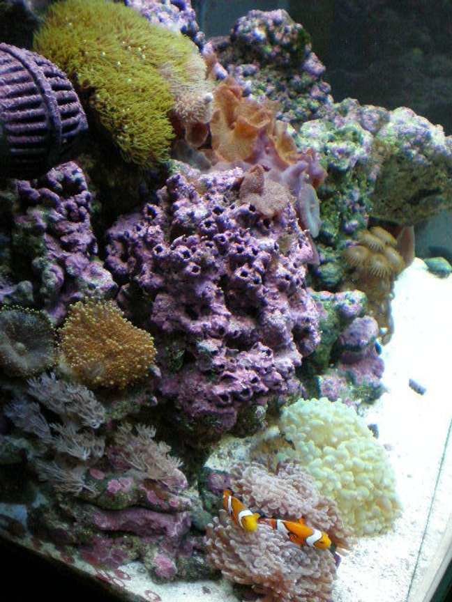 corals inverts - rhodactis sp. - green mushroom stocking in 20 gallons tank - after 7 months
