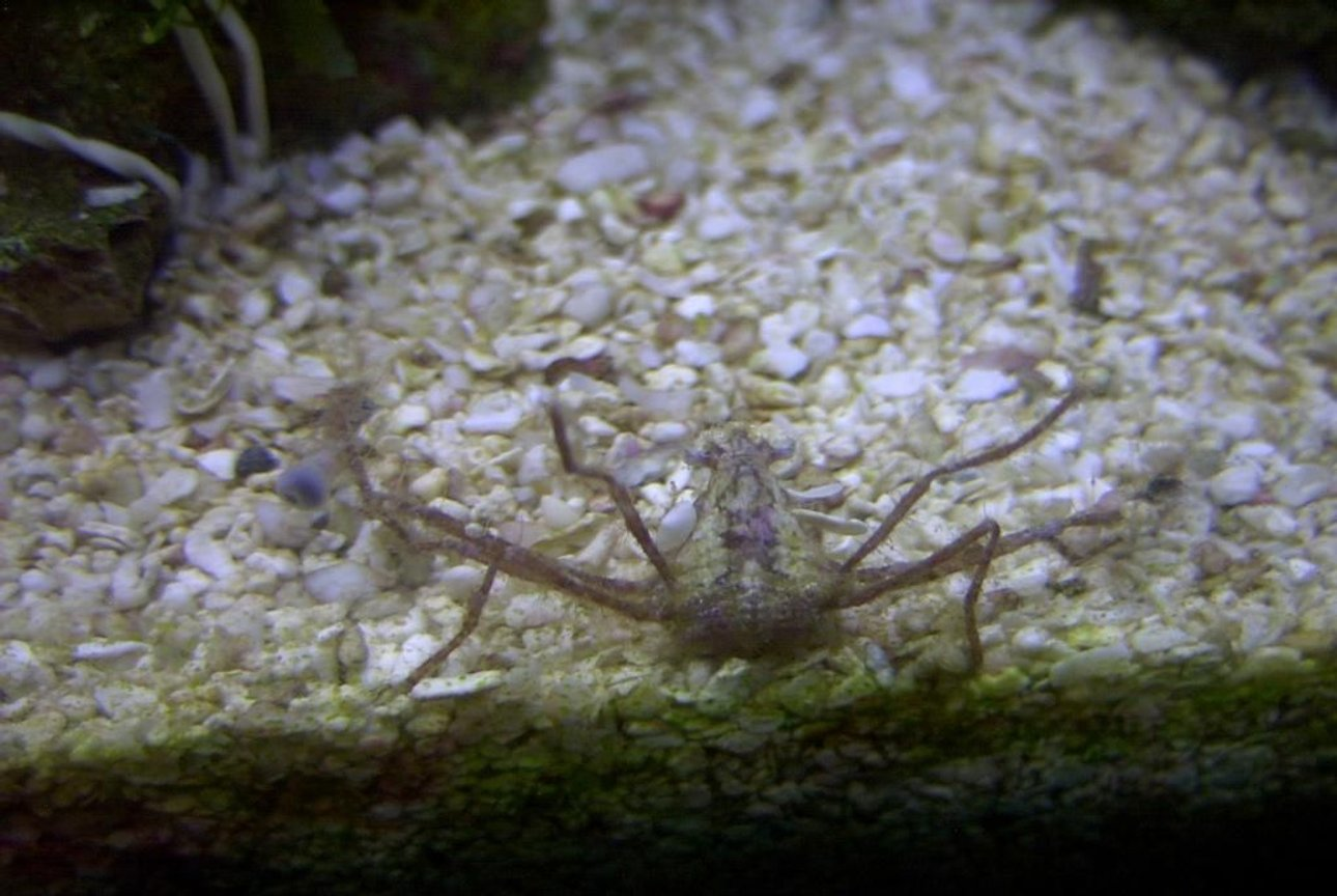 corals inverts - stenorhynchus seticornis - arrow crab stocking in 14 gallons tank - Frilly Arrow Crab