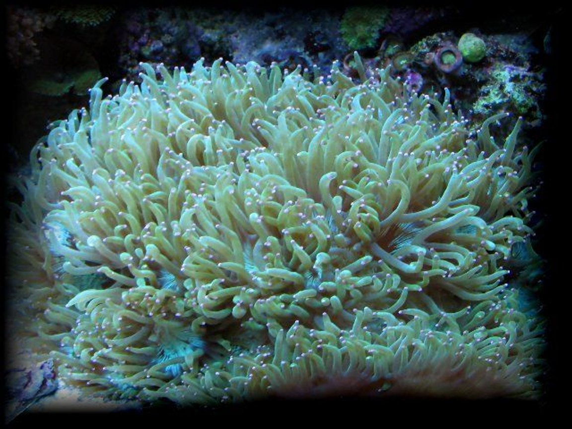 corals inverts - catalaphyllia jardinei - elegance coral stocking in 125 gallons tank - Aussi elegance