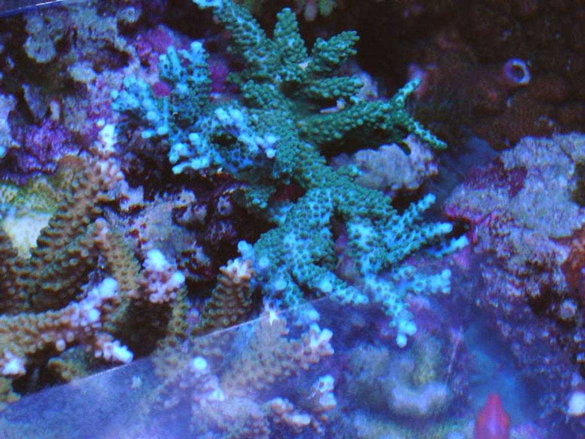 corals inverts - acropora sp. - acropora coral, blue stocking in 120 gallons tank - Blue acropora stag