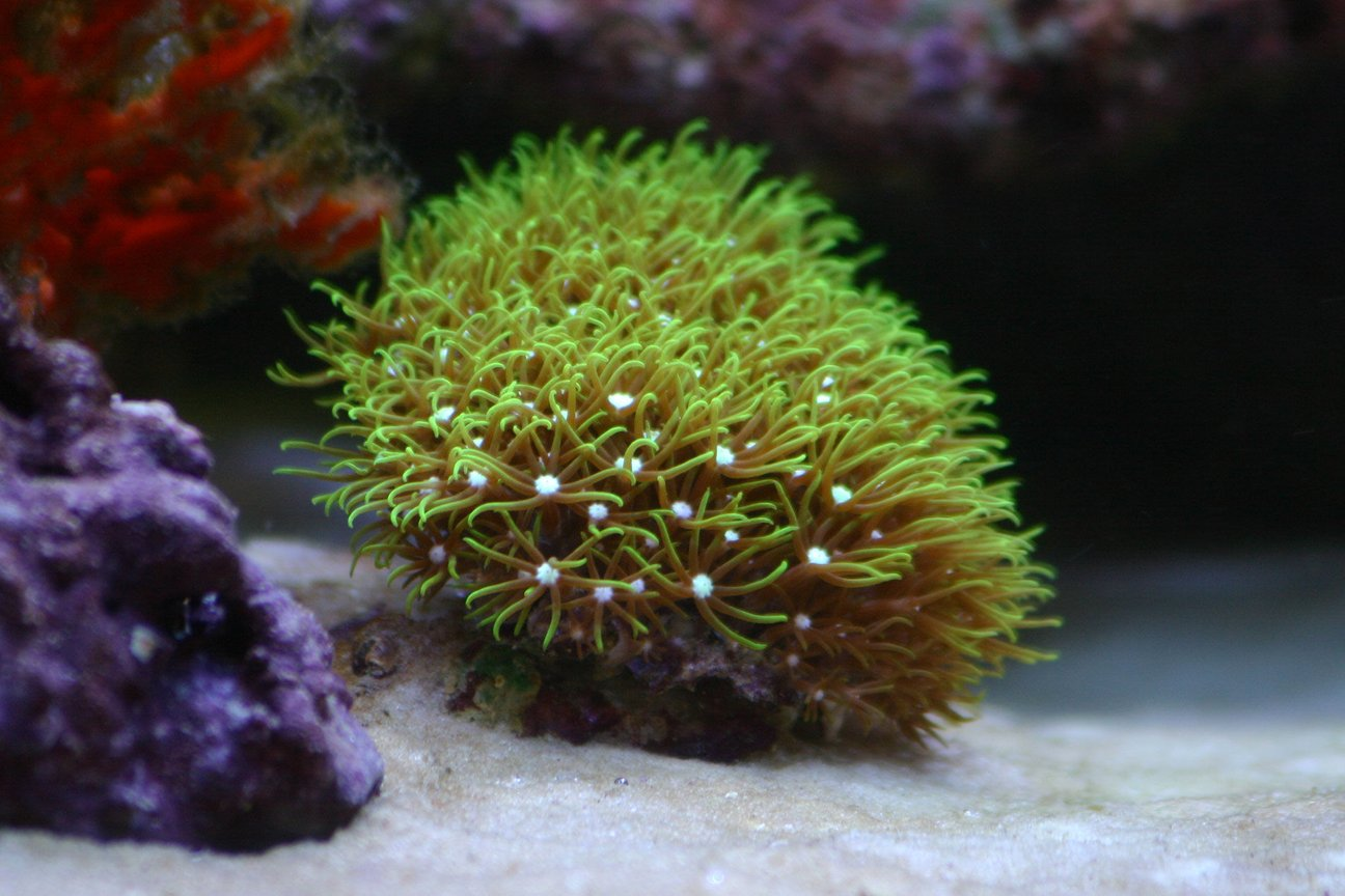corals inverts - briareum sp. - starburst polyp stocking in 130 gallons tank - Green star polyp (frag)
