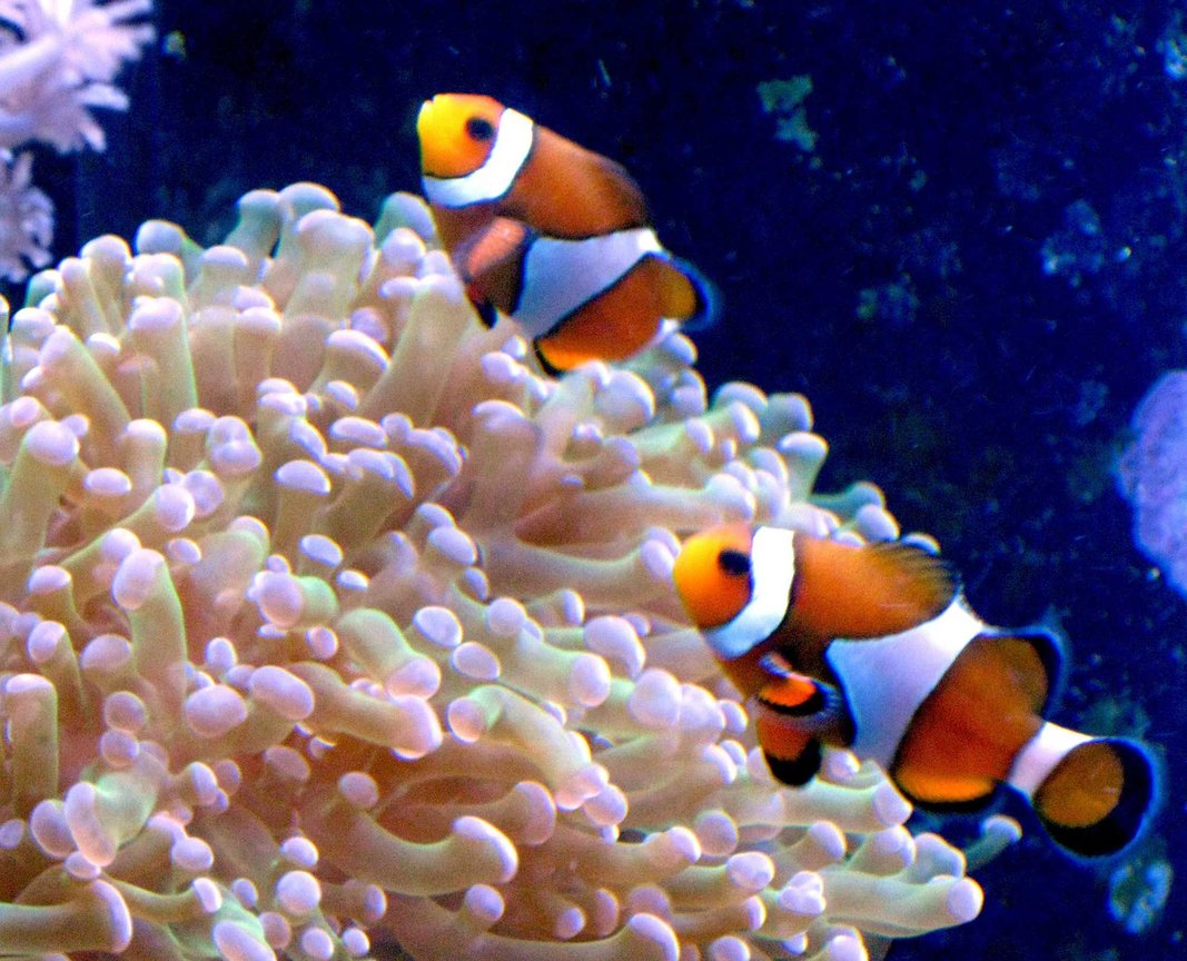 corals inverts - euphyllia paradivisa - frogspawn coral stocking in 90 gallons tank - Clowns in frog spawn