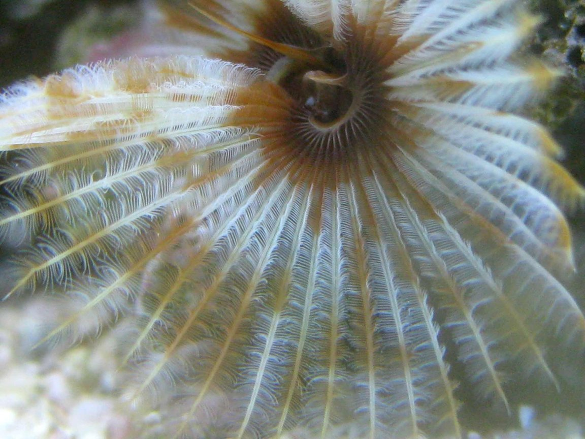 corals inverts - sabellastarte magnifica - magnificent feather duster stocking in 90 gallons tank - Feather Duster