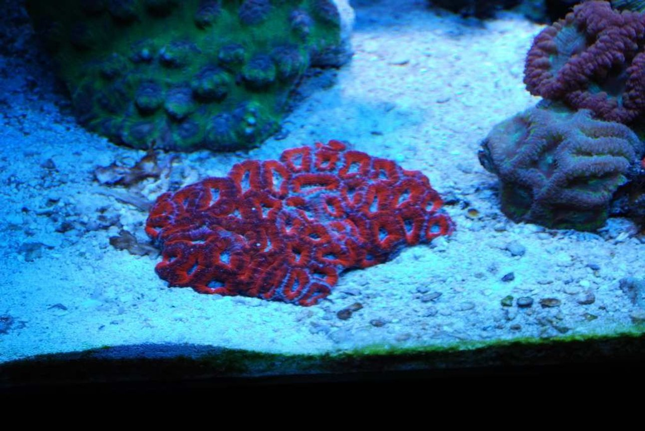 corals inverts - acanthastrea lordhowensis - acan lord stocking in 55 gallons tank - aussie superman acan