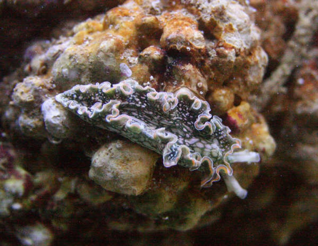 corals inverts - tridachia crispata - lettuce sea slug (nudibranch) stocking in 155 gallons tank - Lettuce slug