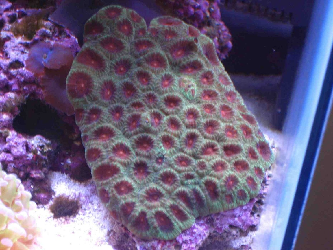 corals inverts - favites sp. - red & green favites brain coral stocking in 75 gallons tank - closed brain coral