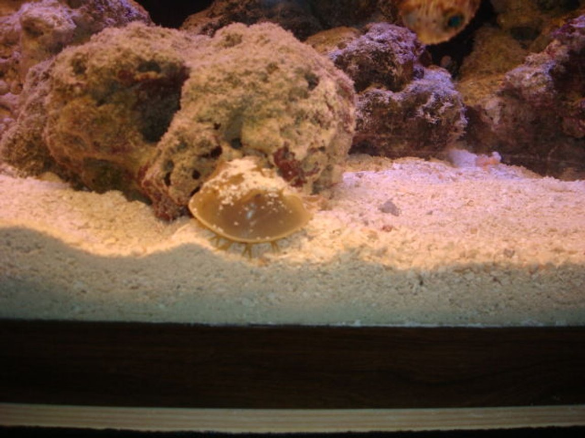 corals inverts - limulus polyphemus - horseshoe crab stocking in 29 gallons tank - crab