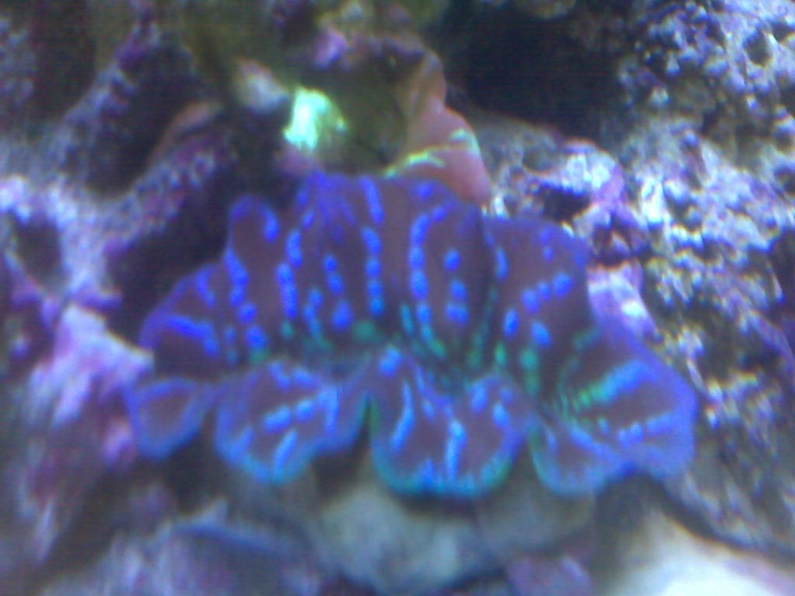 corals inverts - tridacna crocea - crocea clam stocking in 95 gallons tank - crocea clam