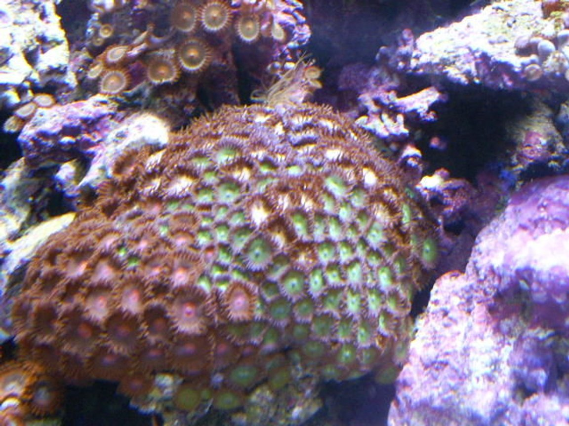 corals inverts - zoanthus sp. - colony polyp stocking in 24 gallons tank - mixed zoas