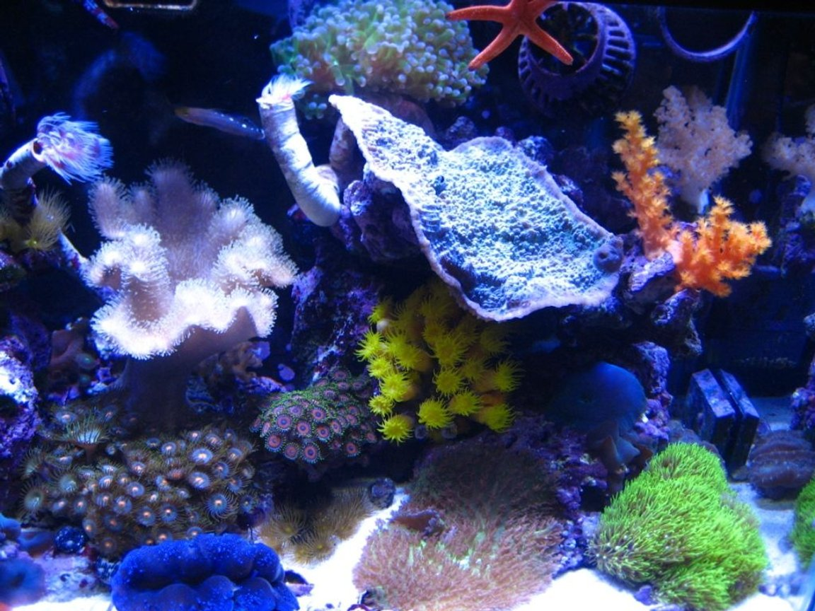 corals inverts - tubastrea faulkneri - orange sun coral stocking in 75 gallons tank - 10G nano right side