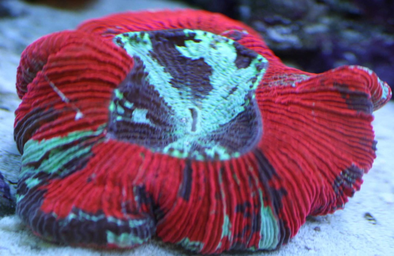 corals inverts - trachyphyllia geoffroyi - brain coral stocking in 110 gallons tank - Brains are cool