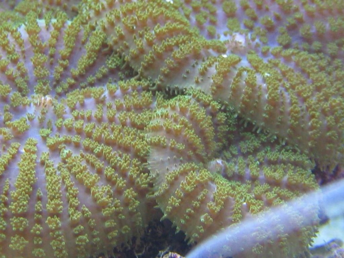 corals inverts - rhodactis indosinensis - hairy mushroom stocking in 125 gallons tank - Who said mushrooms can't be exciting?