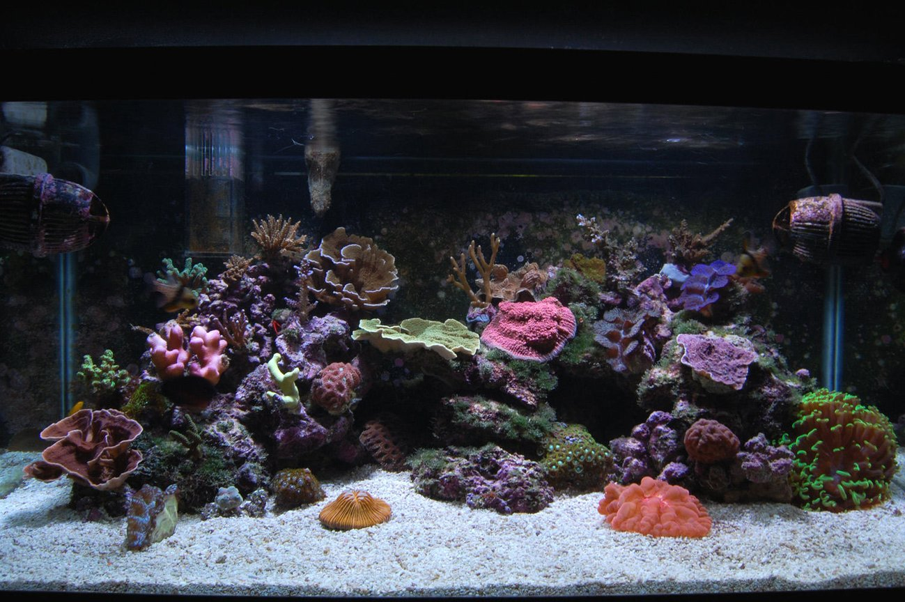 corals inverts - montipora sp. - red aussie montipora stocking in 58 gallons tank - 40 gallon breeder. HOB skimmer by Reef Octopus, HOB fuge by CPR with additional skimmer. 2x150 MH by Current USA burning XM 15k bulbs. Moving towards SPS dominated. Three clams, a few LPS, zoanthids. Too many fish; true percula clown hosting the hammer coral, 2 pj cardinals, six line wrasse, clown goby, yasha hase, coral beauty angel, scooter blenny. I change 15 gallons per week because of the high bio load and to replenish trace minerals. nitrate, nitrate, phosphate = 0. dKH = 8-10. Calcium = 450+ Magnesium 1450-1500. Using the 'Balling' method to dose.