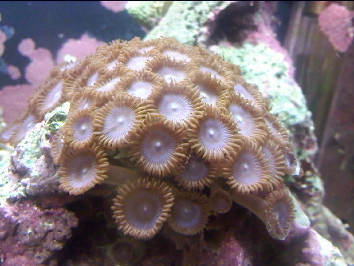 corals inverts - protopalythoa sp. - button polyp stocking in 10 gallons tank - another close up