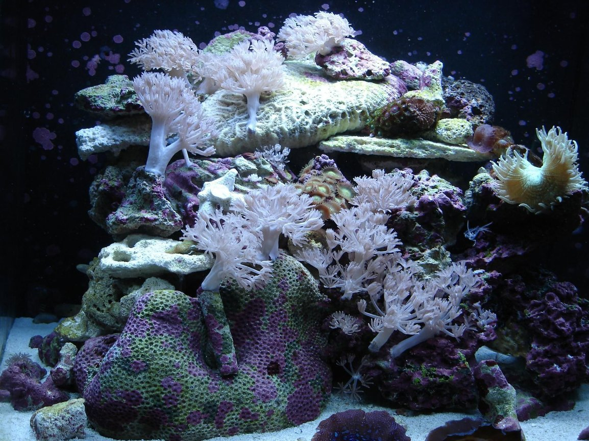 corals inverts - catalaphyllia jardinei - elegance coral stocking in 76 gallons tank - 24 gallon nano