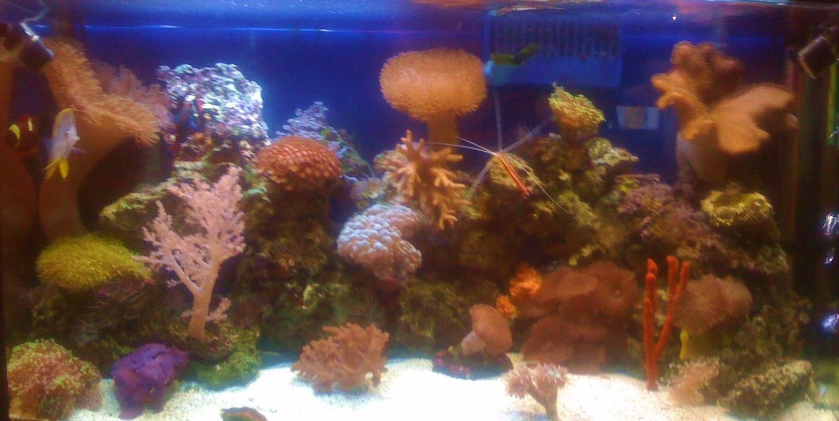 corals inverts - sarcophyton sp. - toadstool mushroom leather coral stocking in 45 gallons tank - 45 Gallon Reef Tank, took the picture with my phone so sorry for the quality