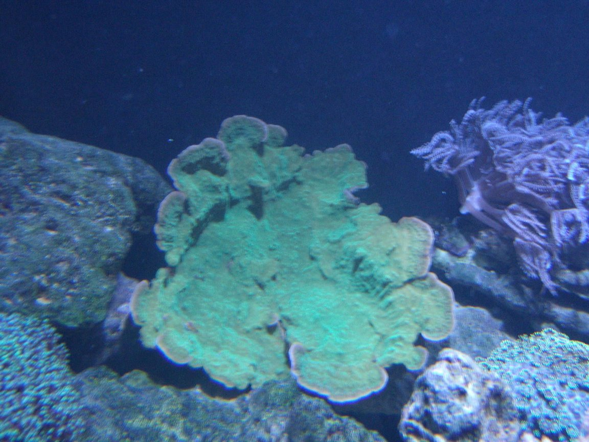 corals inverts - montipora capricornis - green apple cap coral stocking in 220 gallons tank - Green Monte